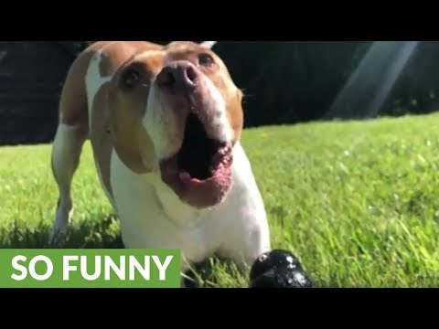 Barking pit bull roars like a lion
