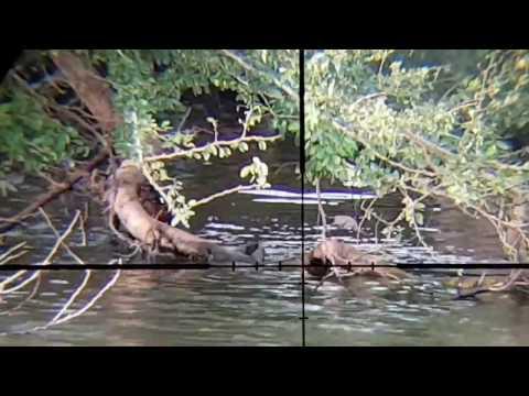 Iguana Hunting Puerto Rico