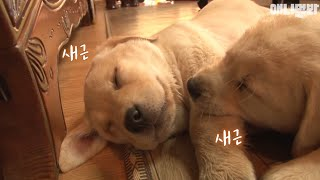 Retriever cubs go begging for breast milk to the dog next door everyday