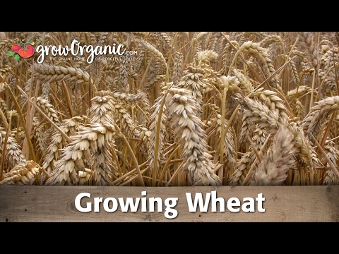 How to Grow Wheat Organically - YouTube