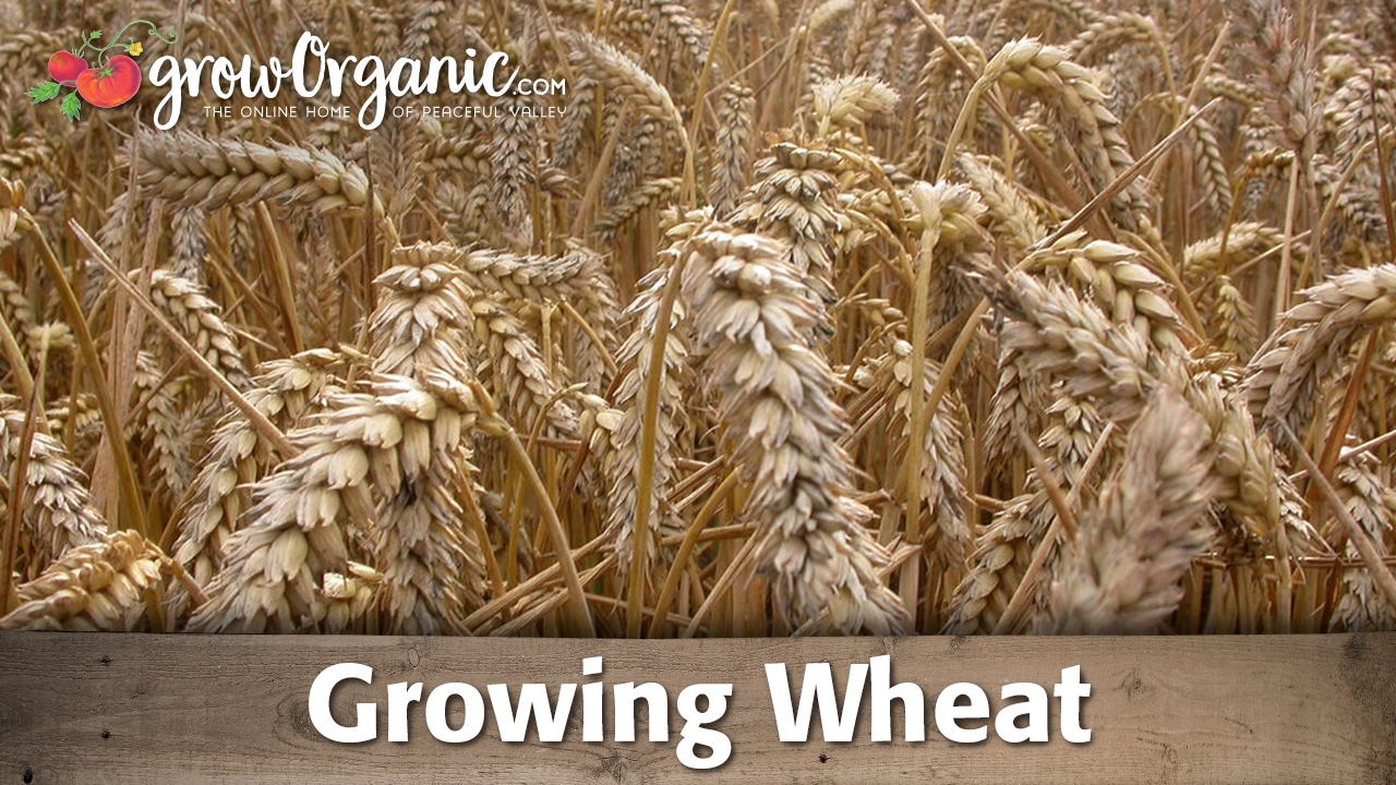 how to grow wheat organically youtube