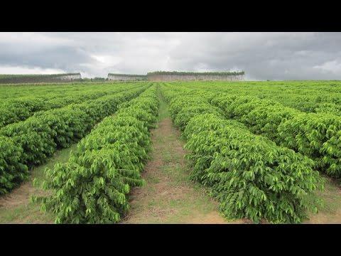 Mô hình trồng cà phê hữu cơ tại Colombia