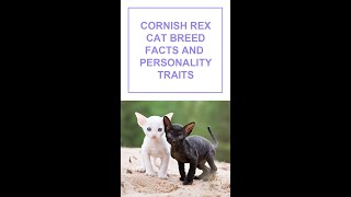 Cornish rex Cat Breed Facts and Personality Traits #Shorts