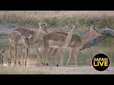 safariLIVE - Sunset Safari - June 18, 2019