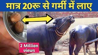 गाय भैंस को हीट में लाने का No1देसी फार्मूला Heat Problem Solution in Dairy Farm india