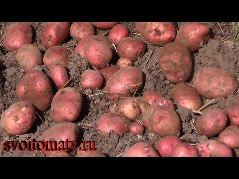 Картофель из мини клубней на семена