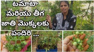 టమాటా మరియు తీగ జాతి మొక్కలకు పందిరి..   Tomato plant care    How to support Tomato plant