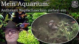Mein Aquarium - Teil 17 - Anthrazit Napfschnecken ziehen ein
