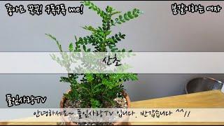 플랜테리어 잎에서 싸한 향이 나는 산초나무 풀잎사랑tv…