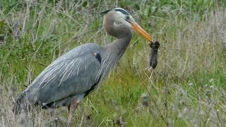 Heron Kills 4 Gophers in a Row; Eats Only 2