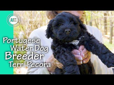 Portuguese Water Dog Breeder - Terri Pecora