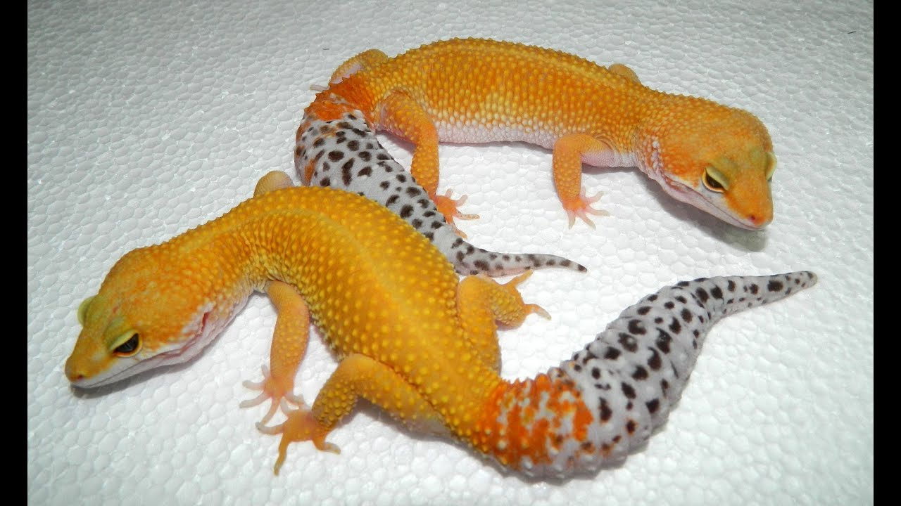 The gallery for --> Hypo Tangerine Carrot Tail Leopard Gecko