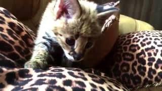 Игривые котята Сервал😽   Питомник SoulCats 🐾