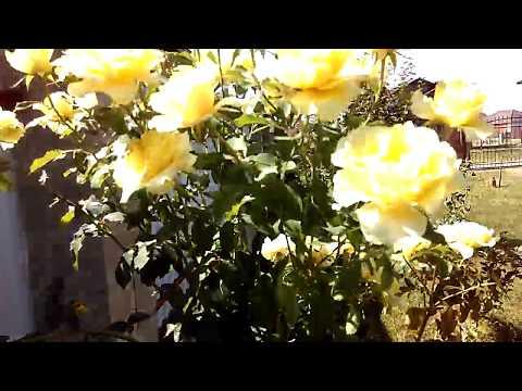 Как сделать штамбовую розу.