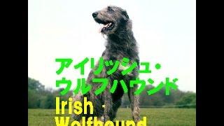 アイリッシュ・ウルフハウンド Cú Faoil Irish wolfhound 原産国(原産...