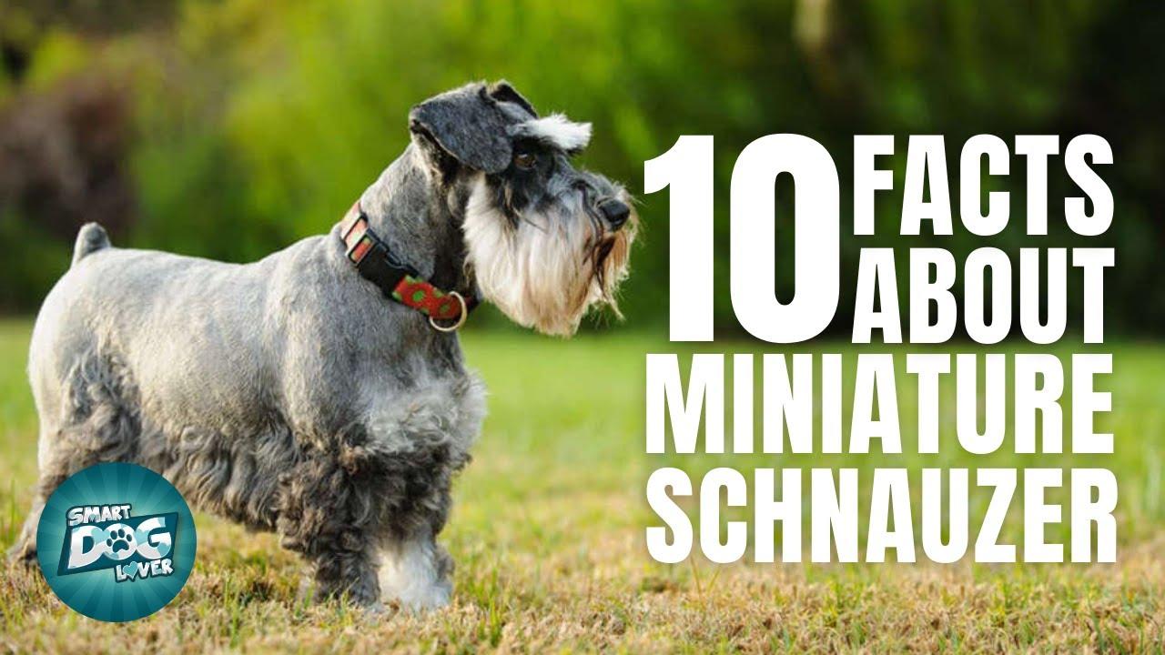 10 Facts About The Miniature Schnauzer | Dogs 101 - Miniature Schnauzer