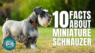 10 Facts About The Miniature Schnauzer | Dogs 101  Miniature Schnauzer