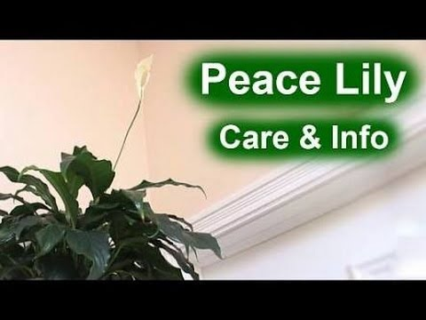 how to grow peace lily care and tips hindi urdu top 10 indoor plant youtube. Black Bedroom Furniture Sets. Home Design Ideas