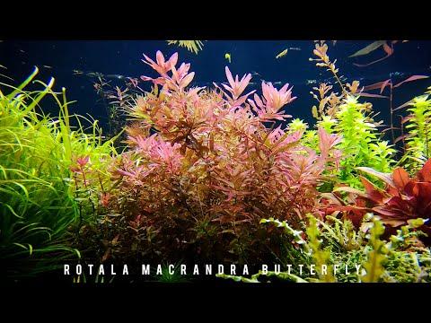 Rotala Macrandra Butterfly / Ротала Макрандра Баттерфляй