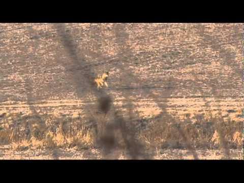 Coyote Called: Ohio Coyote!