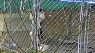 Dog Climbs Fence
