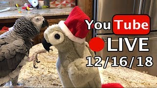 🔴🐦Einstein Parrot LIVE! 12/16/18 with Santa Claw!