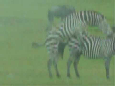 Секс зебра икарова