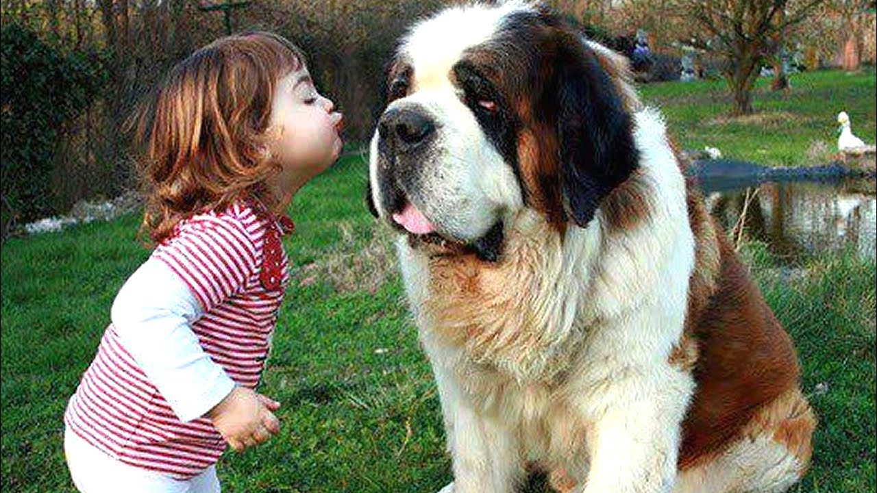 Dog Breed Saint Bernard Puppy