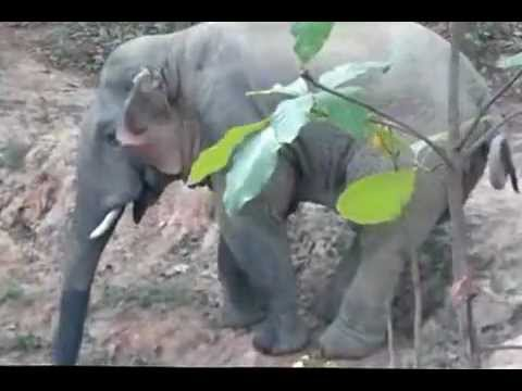 Wild Elephant in jhargram
