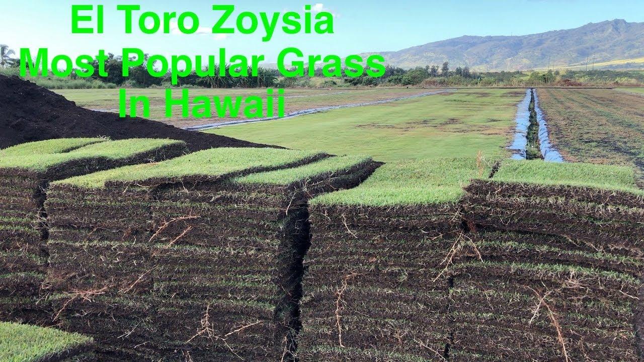 El Toro Zoysia Hawaii S Most Popular Grass Youtube