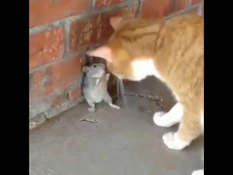 Download 96+  Gambar Kucing Dan Tikus Lucu Lucu Gratis