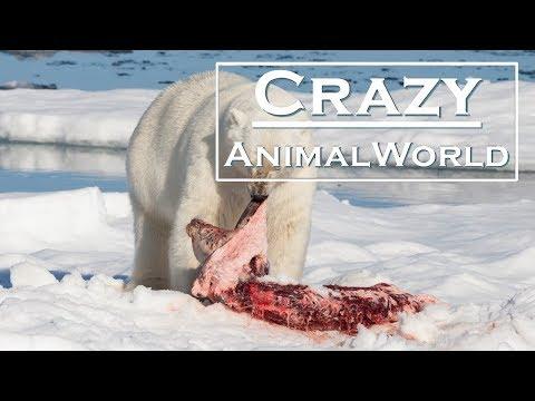 Polar bear kills and eat he's own child (regrettable)
