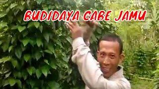 CABE JAWA  ~~~ Meraup Untung Besar