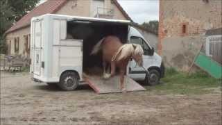 La LICORNERIE Bijou, jeune comtois, donner les pieds, monter en camion en liberté