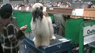 Afghan hound Crufts 2020