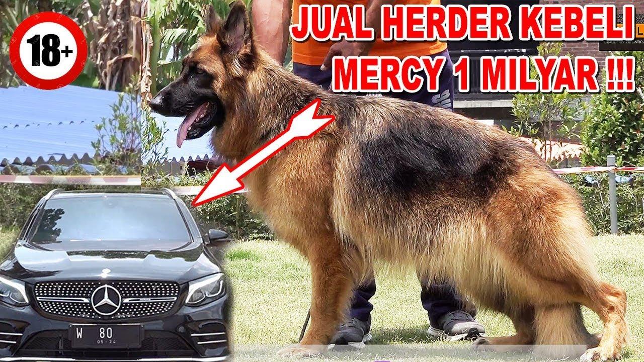 Jual Anjing Herder Kebeli Mobil Mercy 1 Milyar Von Der Perlenburg Youtube