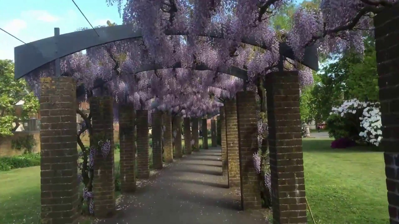A Walk Through The Wisteria Pergola Andrews Park Southampton