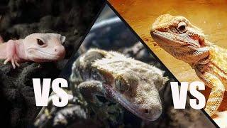 Jaka jaszczurka jest najlepsza na początek?