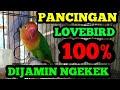 Mantul Suara Pancingan Buat Burung Lovebird Ngekek Dan Di Jamin Ngekek  Mp3 - Mp4 Download