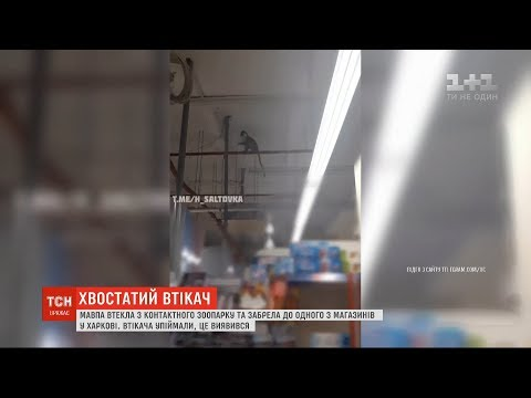 ТСН: Мавпа втекла з контактного зоопарку та забрела до одного з магазинів у Харкові