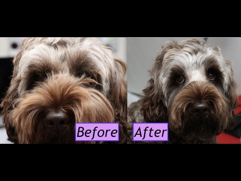 How to trim a Labradoodle/Cockapoo face - Demo