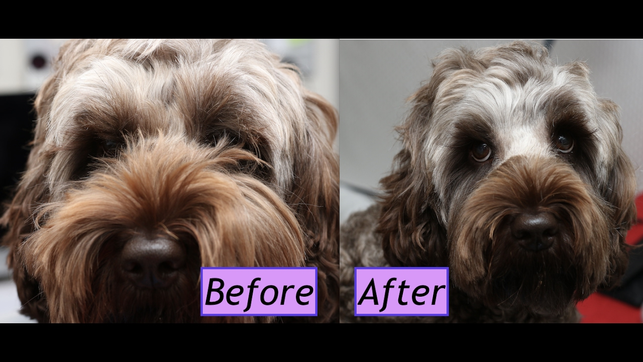 How To Trim A Labradoodlecockapoo Face Demo