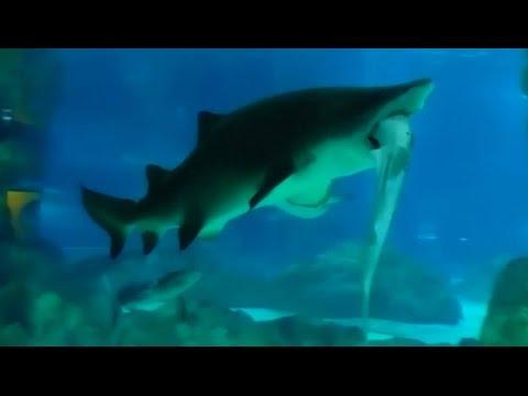 Shark on shark violence in Seoul aquarium /  Didelis ryklys valgo mažesnį ryklį