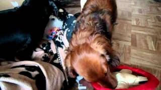 Dachshunds Get New Christmas Toys