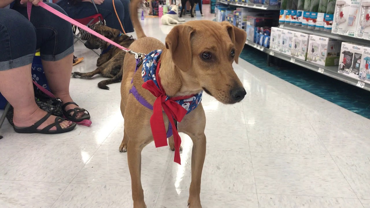 Whippet Lab Mix With Rover Rescue You