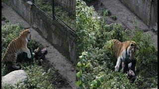 बाघ ने इस लड़की के साथ किया कुछ ऐसा की...