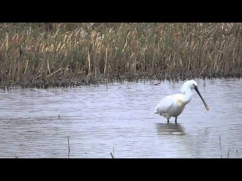 Spoonbill Fishing At Radipole Lake