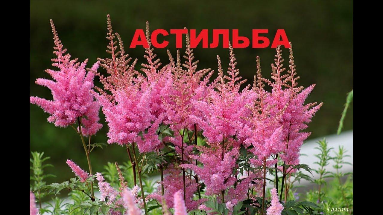 садовый ежедневник. что нужно знать при выращивании АСТИЛЬБЫ?