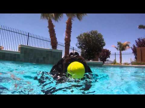 Dog Training: Rottweiler and Sheltie Go Swimming!