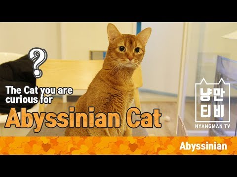 [NMTV] The Cat you are curious for – Abyssinian Cat